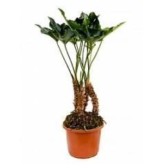 Антуриум arrow bush Диаметр горшка — 32 см Высота растения — 100 см