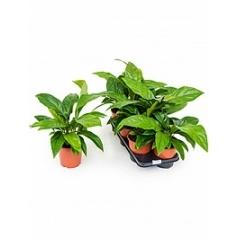 Антуриум jungle bush bush Диаметр горшка — 15 см Высота растения — 40 см