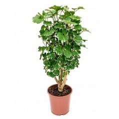 Аралия (Полисциас) balforiana branched Диаметр горшка — 24 см Высота растения — 90 см