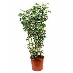 Аралия (Полисциас) balforiana branched Диаметр горшка — 32 см Высота растения — 130 см