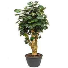 Аралия (Полисциас) fabian bonsai Диаметр горшка — 35 см Высота растения — 130 см