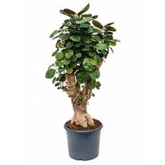 Аралия (Полисциас) fabian bonsai Диаметр горшка — 29 см Высота растения — 115 см