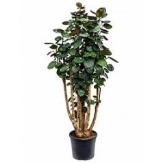 Аралия (Полисциас) fabian branched (140-150) Диаметр горшка — 31 см Высота растения — 140 см