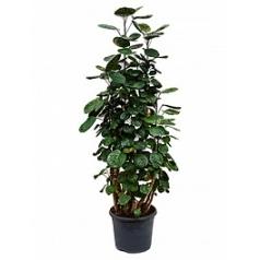 Аралия (Полисциас) fabian branched (90-100) Диаметр горшка — 26 см Высота растения — 90 см