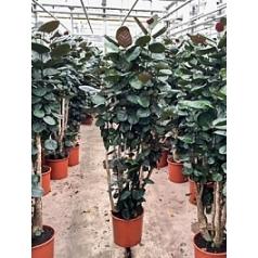 Аралия (Полисциас) fabian branched Диаметр горшка — 34 см Высота растения — 170 см