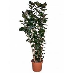 Аралия (Полисциас) fabian branched Диаметр горшка — 40 см Высота растения — 200 см