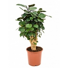 Аралия (Полисциас) fabian branched Диаметр горшка — 21 см Высота растения — 60 см