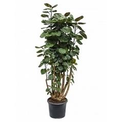 Аралия (Полисциас) fabian branched Диаметр горшка — 29 см Высота растения — 115 см
