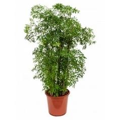 Аралия (Полисциас) ming branched Диаметр горшка — 24 см Высота растения — 80 см