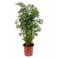Аралия (Полисциас) ming branched Диаметр горшка — 21 см Высота растения — 80 см