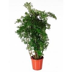 Аралия (Полисциас) ming branched Диаметр горшка — 24 см Высота растения — 95 см