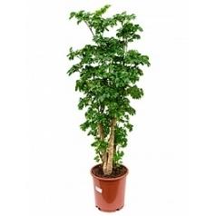 Аралия (Полисциас) roble branched (110-120) Диаметр горшка — 24 см Высота растения — 105 см
