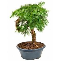 Араукалия cunninghamii bonsai Диаметр горшка — 23 см Высота растения — 45 см