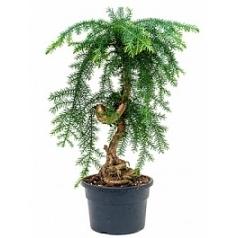 Араукалия cunninghamii bonsai Диаметр горшка — 21 см Высота растения — 55 см