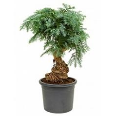Араукалия cunninghamii bonsai Диаметр горшка — 40 см Высота растения — 105 см