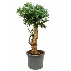 Араукалия cunninghamii bonsai Диаметр горшка — 45 см Высота растения — 140 см