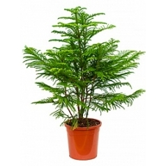 Араукалия heterophylla bush Диаметр горшка — 30 см Высота растения — 120 см