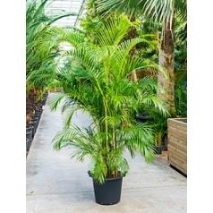 Areca (chrysalidoc.) lutescens ( bush Диаметр горшка — 50 см Высота растения — 275 см