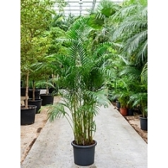 Areca (chrysalidoc.) lutescens (200-220) bush Диаметр горшка — 40 см Высота растения — 200 см