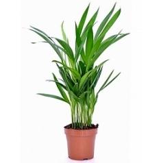 Areca (chrysalidoc.) lutescens Диаметр горшка — 12 см Высота растения — 45 см