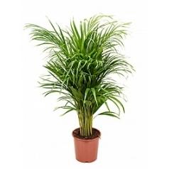 Areca (chrysalidoc.) lutescens bush Диаметр горшка — 21 см Высота растения — 115 см