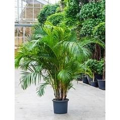 Areca (chrysalidoc.) lutescens bush Диаметр горшка — 45 см Высота растения — 225 см