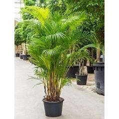 Areca (chrysalidoc.) lutescens bush Диаметр горшка — 50 см Высота растения — 200 см