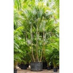 Areca (chrysalidoc.) lutescens bush Диаметр горшка — 120 см Высота растения — 650 см