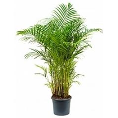 Areca (chrysalidoc.) lutescens tuft Диаметр горшка — 29 см Высота растения — 150 см