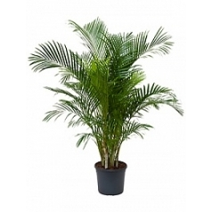 Areca (chrysalidoc.) lutescens tuft Диаметр горшка — 31 см Высота растения — 170 см