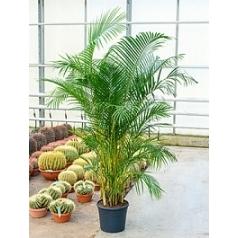 Areca (chrysalidoc.) lutescens tuft Диаметр горшка — 35 см Высота растения — 170 см