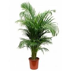 Areca (chrysalidoc.) lutescens tuft Диаметр горшка — 24 см Высота растения — 130 см