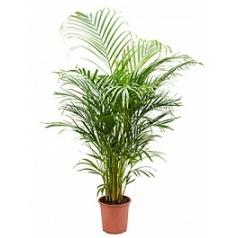 Areca (chrysalidoc.) lutescens tuft Диаметр горшка — 21 см Высота растения — 110 см