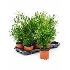 Аспарагус falcatus bush Диаметр горшка — 12 см Высота растения — 50 см