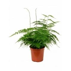 Аспарагус plumoses bush Диаметр горшка — 21 см Высота растения — 50 см