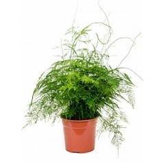 Аспарагус plumoses bush Диаметр горшка — 27 см Высота растения — 75 см