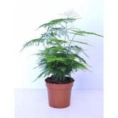 Аспарагус plumosus Диаметр горшка — 12 см Высота растения — 40 см