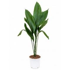 Аспидистра elatior tuft Диаметр горшка — 17 см Высота растения — 90 см