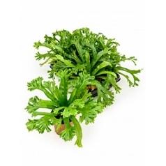 Асплениум amy Диаметр горшка — 12 см Высота растения — 30 см