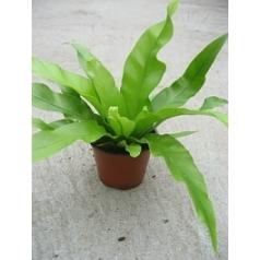 Асплениум antiquum 1 Диаметр горшка — 8.5 см Высота растения — 20 см