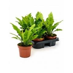 Асплениум fimbriatum Диаметр горшка — 12 см Высота растения — 30 см
