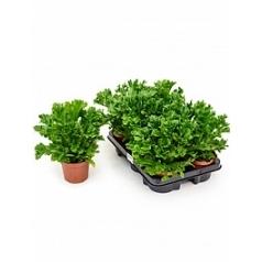 Асплениум leslie Диаметр горшка — 12 см Высота растения — 25 см