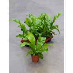 Асплениум nidus Диаметр горшка — 12 см Высота растения — 35 см