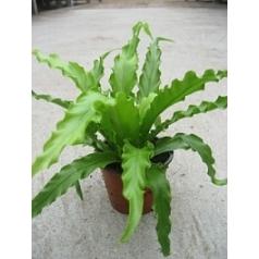 Асплениум osaka 21/tray Диаметр горшка — 8.5 см Высота растения — 15 см