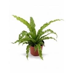 Асплениум osaka Диаметр горшка — 12 см Высота растения — 30 см