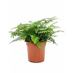 Асплениум parvati bush Диаметр горшка — 24 см Высота растения — 50 см