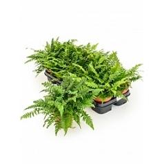 Папоротник spicatum Диаметр горшка — 12 см Высота растения — 25 см