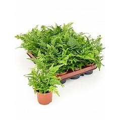 Папоротник spicatum 1 Диаметр горшка — 8.5 см Высота растения — 20 см