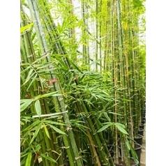 Бамбук siamensis multi stem Диаметр горшка — 55 см Высота растения — 675 см