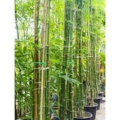 Бамбук siamensis multi stem Диаметр горшка — 55 см Высота растения — 425 см